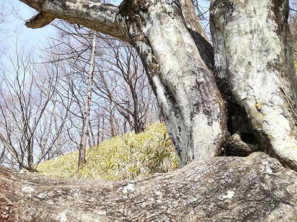 榛名富士登山道の木