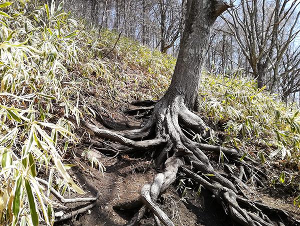 榛名富士登山道にある木の根
