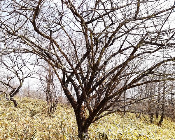 榛名富士山神社へ向かう道にある木