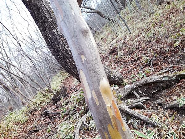 ツルツルすべすべの木