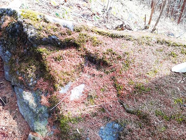 烏帽子岳登山道の苔石