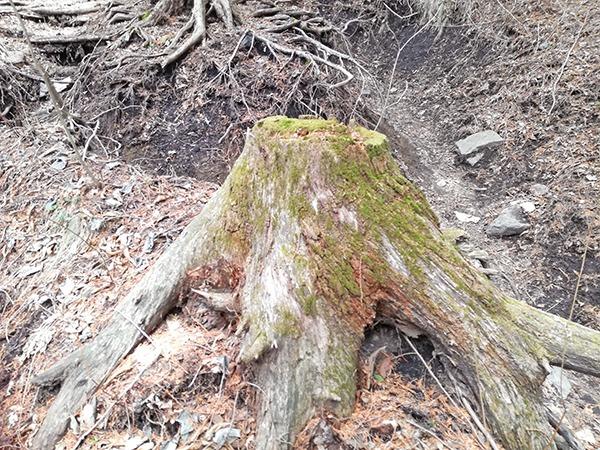 掃部ヶ岳登山道にある苔の木