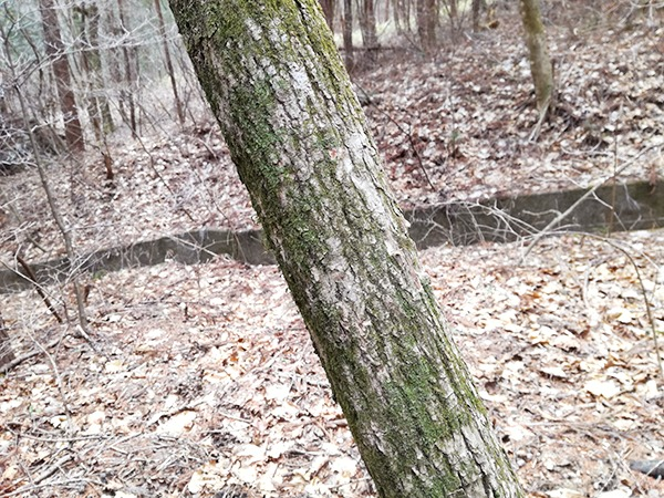 掃部ヶ岳登山道にある木