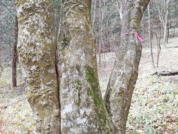 掃部ヶ岳登山道の木と目印