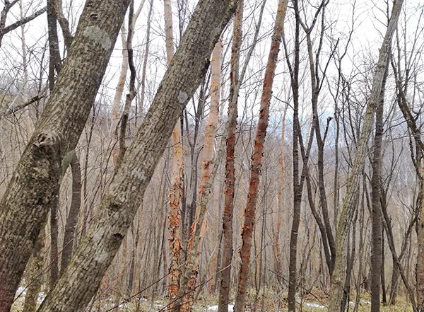 掃部ヶ岳山頂へ向かう道にある木