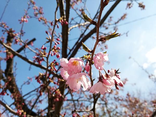牛伏山の第2駐車場近くの桜