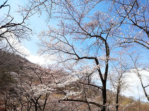 牛伏山の桜