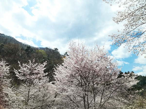牛伏山から下山中に見た桜