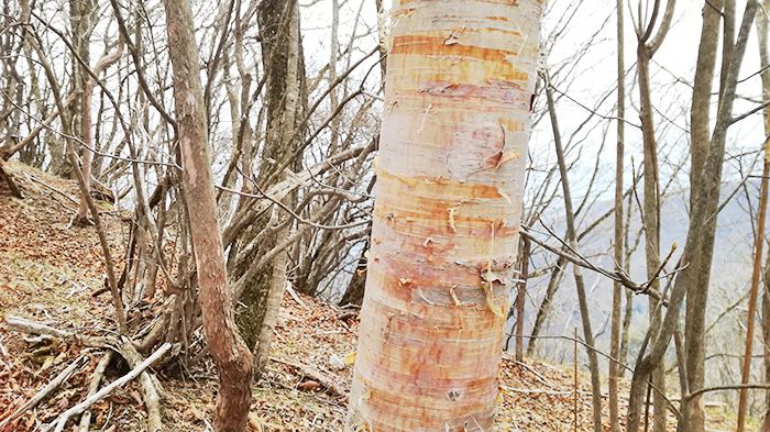 相馬山に向かう岩場の道の鳥居付近の木