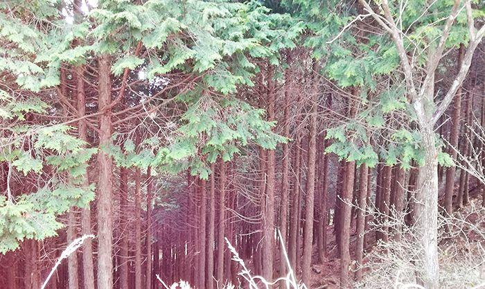 スルス岩から松之沢峠方面で下山する道にある杉林