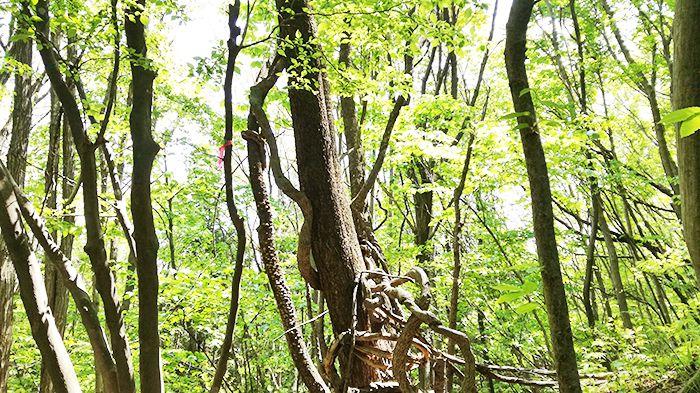 高王山の登山道にある木