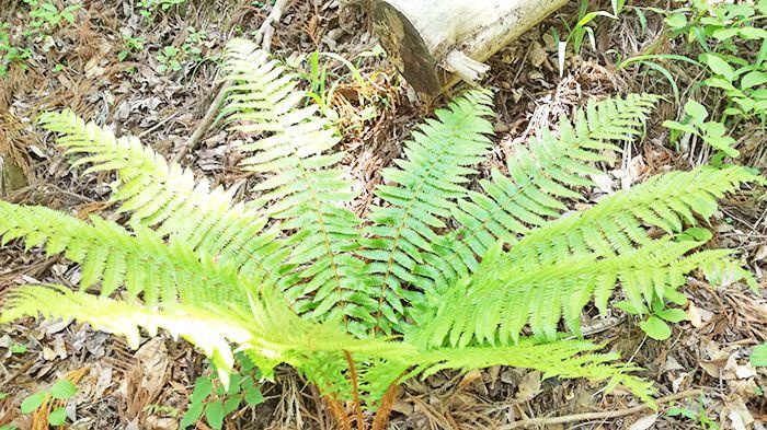 高王山の登山道にあるシダ植物