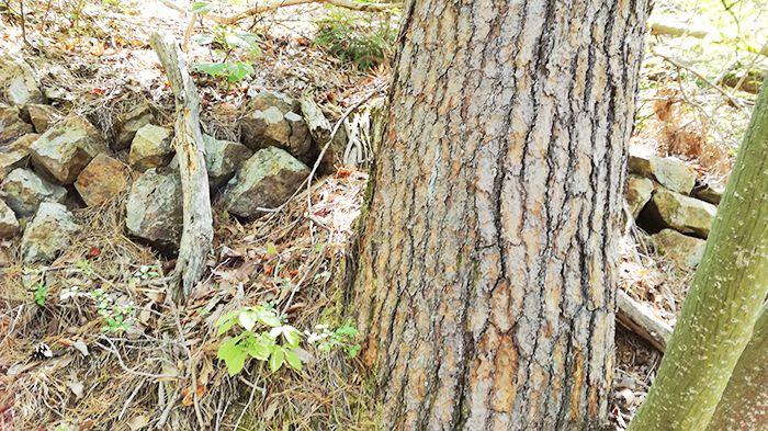戸神山登山道の鉱山跡ルートにある木