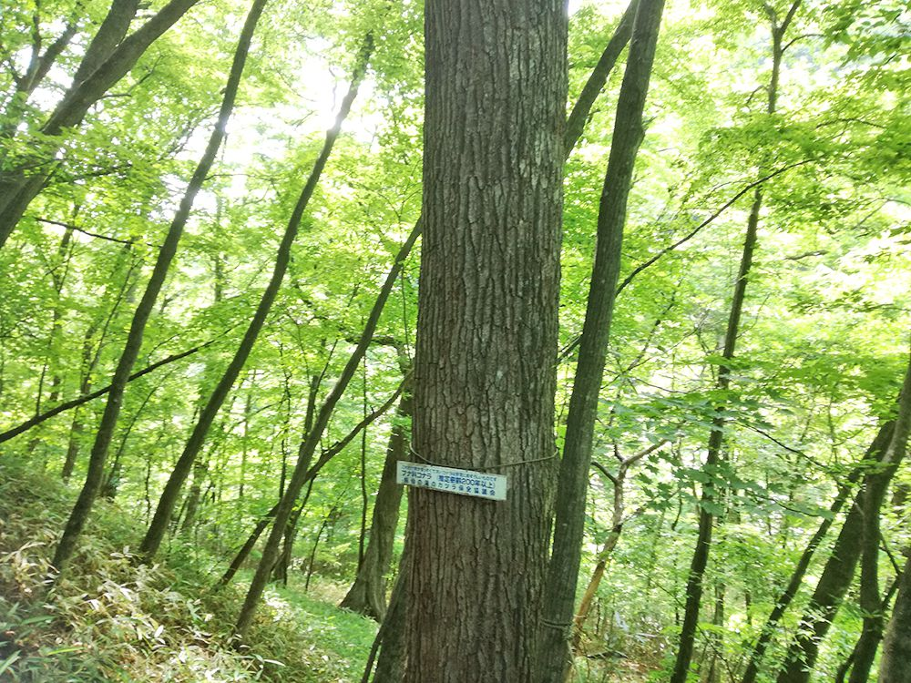 嫗仙の滝の自然遊歩道にあるコナラの木