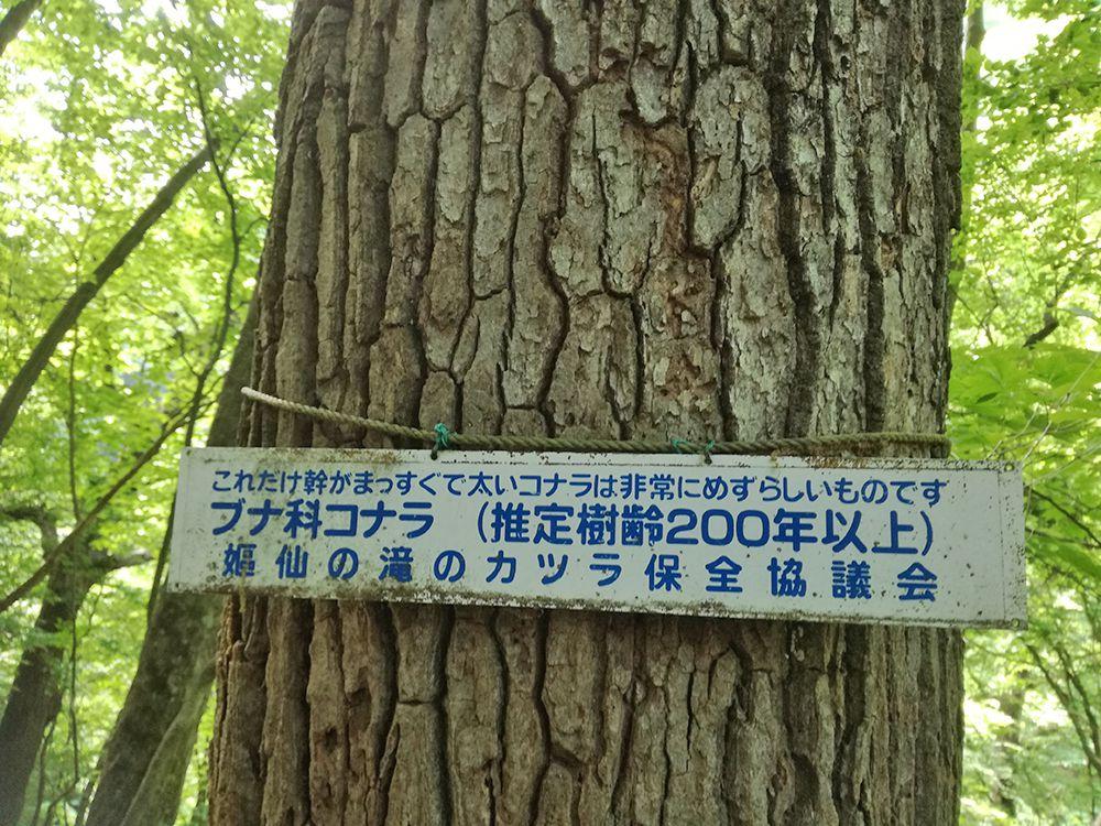 嫗仙の滝の自然遊歩道のコナラの木