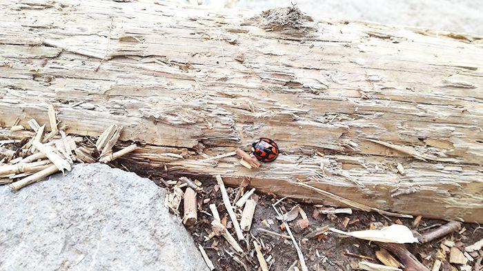 駒ヶ岳登山道にある階段にいたテントウムシ