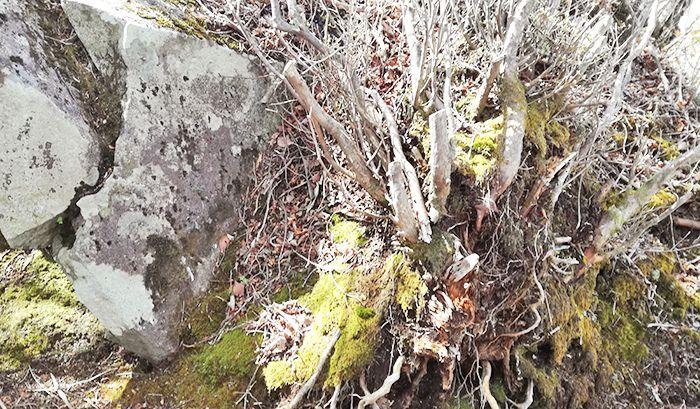 黒檜山登山道にある苔