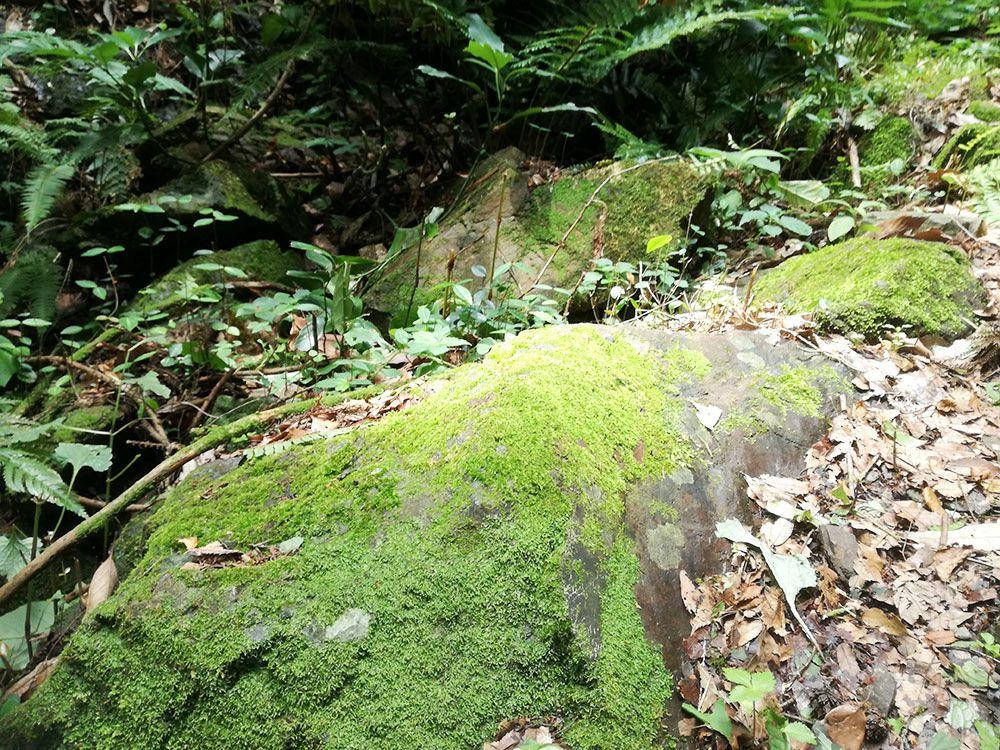 御嶽山の鏡岩から金鑚神社への道にある苔石