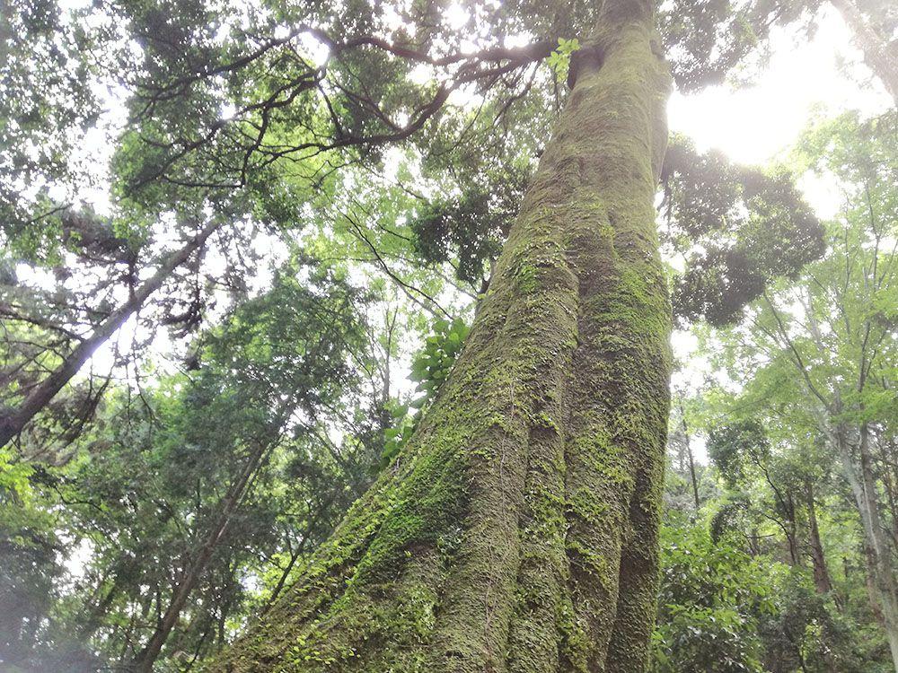 御嶽山の鏡岩から金鑚神社への道にある木