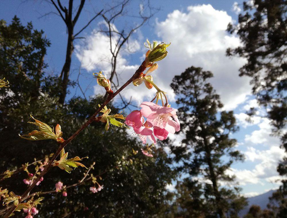 金鑚神社から駐車場への道にあった桜