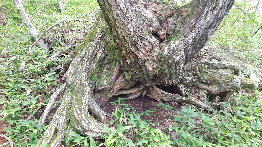 長七郎山登山道にある木