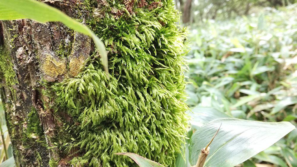 小地蔵岳登山道にある苔