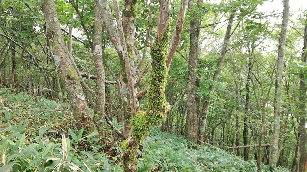 長七郎山登山道にある苔