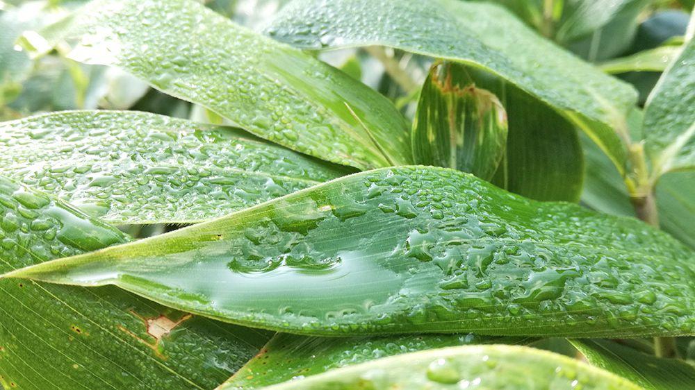 地蔵岳の遊歩道にある植物が朝露で濡れている様子