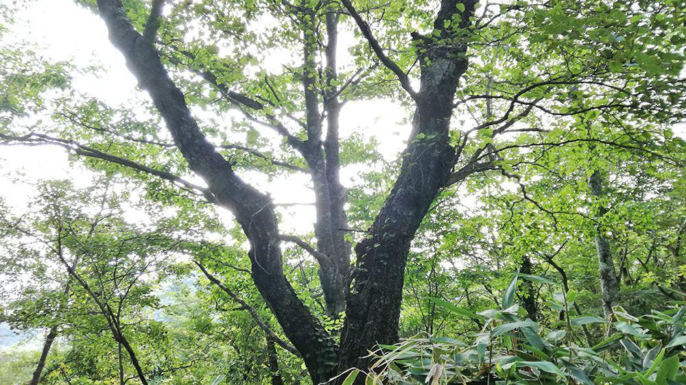 地蔵岳の遊歩道にある木