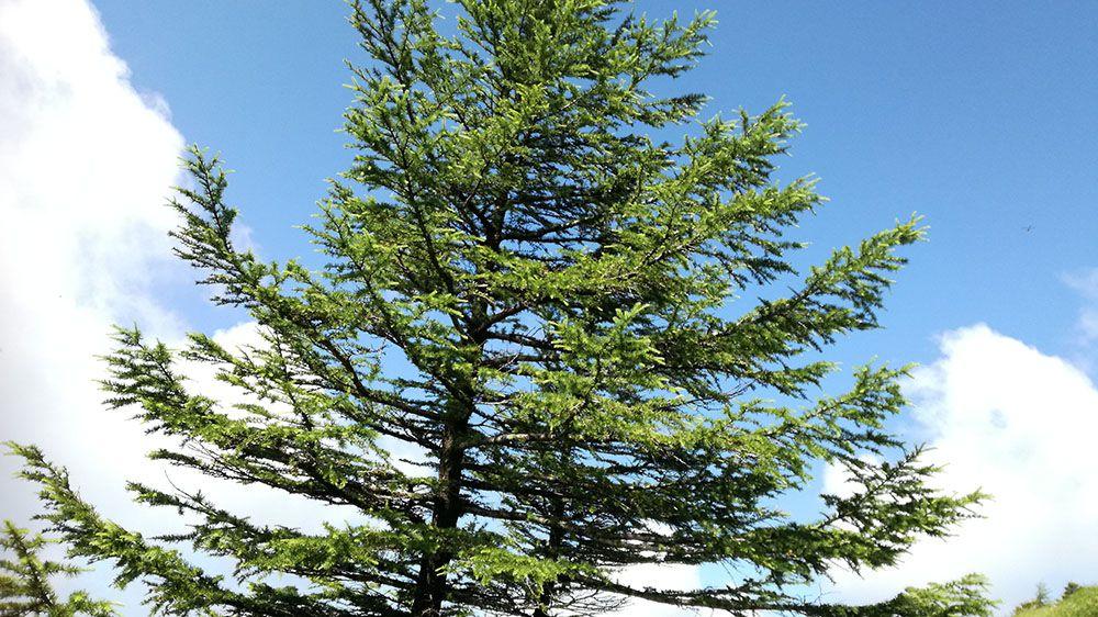 美ヶ原高原の遊歩道にある木