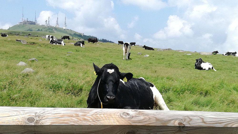 美ヶ原高原で放牧されている牛