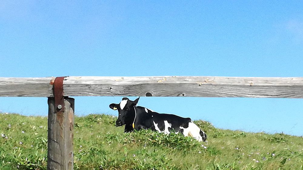 美ヶ原高原に放牧されている牛