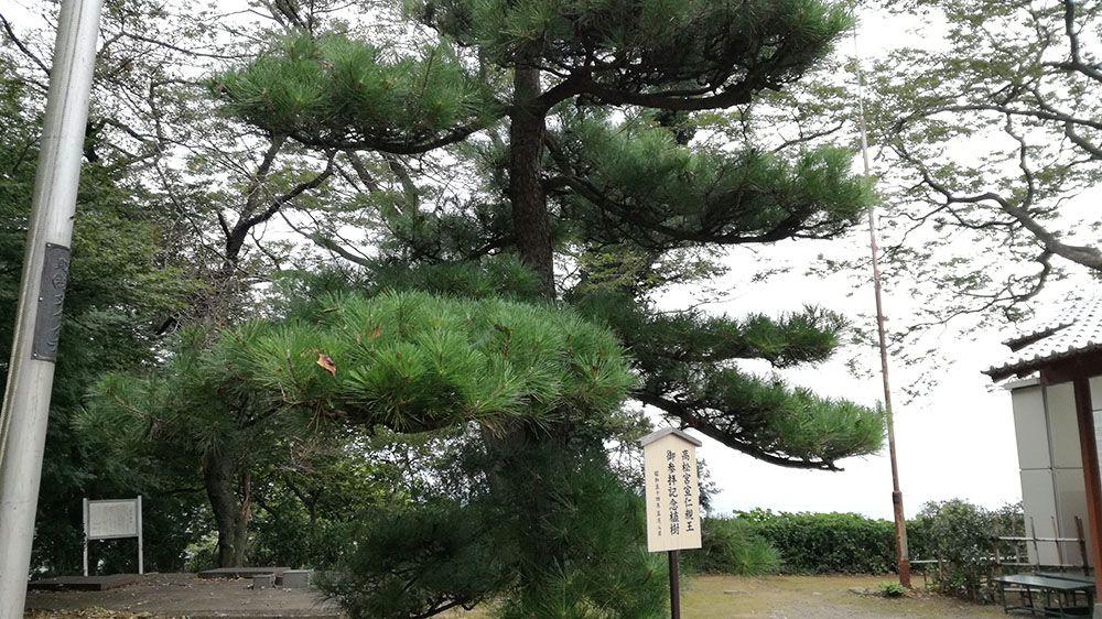 金山城跡の新田神社にある松