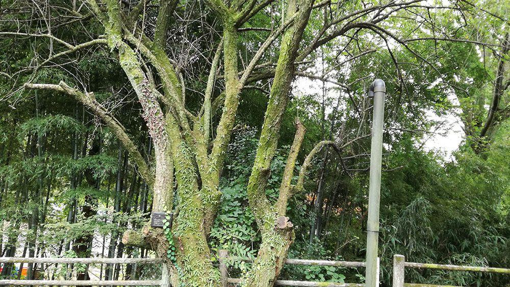 史跡金山城跡ガイダンス施設駐車場の梅の木